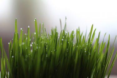 junge Gräser GErstengras